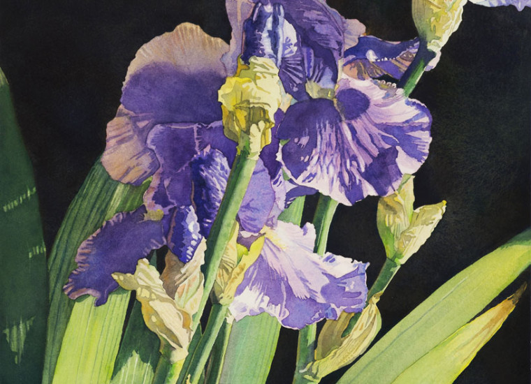 Lisa-Jefferson, Angles-Of-Iris watercolors, watercolor, beautiful purple iris