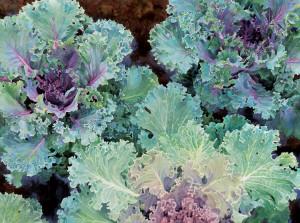 LIsa-Jefferson,watercolors,Kale-Garden,watercolor,beautiful-kale-leaves