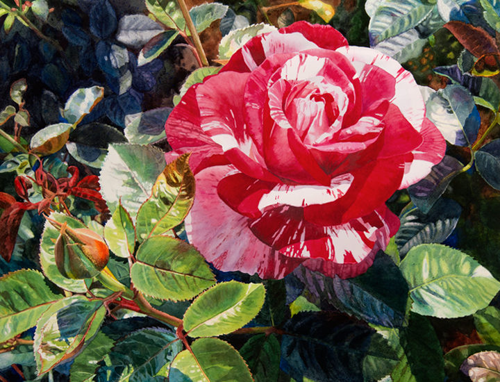 Lisa-Jefferson,Cracklin-Rosie,watercolor,red-and-white-striped-rose